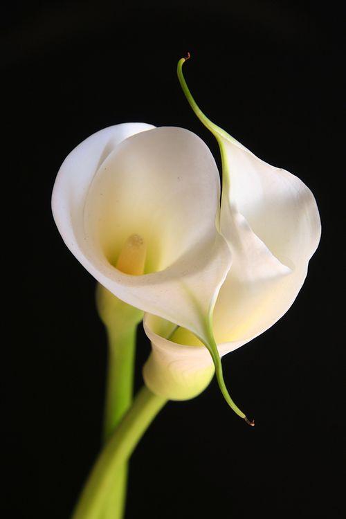 Bigstock-Calla-Lilies-In-Love-527984