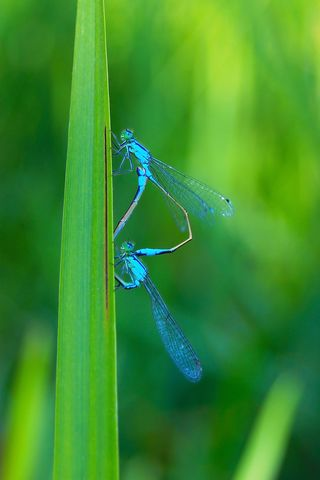 Bigstock-Two-Beautiful-Dragonfly-9833681